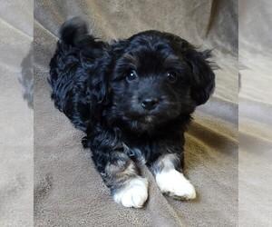 Havanese Dog for Adoption in STATEN ISLAND, New York USA