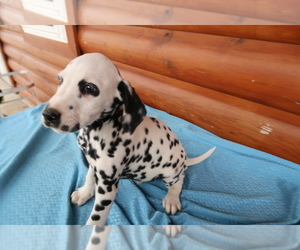 Dalmatian Puppy for sale in INDIANAPOLIS, IN, USA