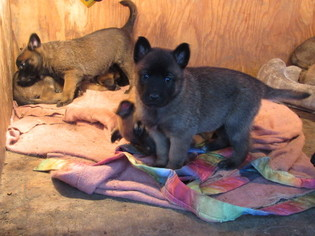 Belgian Malinois Puppy For Sale in VALLEJO, CA, USA