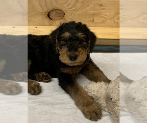 Airedale Terrier Puppy for sale in HAMPTON, VA, USA
