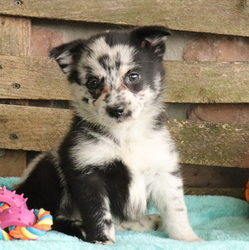 Pomsky Puppies For Sale In Pa