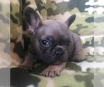 Small #13 French Bulldog