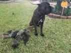 Cane Corso Puppy For Sale in MISSOURI CITY, TX, USA