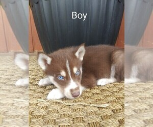 Siberian Husky Puppy for Sale in PEMBROKE, Kentucky USA