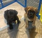 Mastiff Puppy For Sale in CONCORD, NC, USA