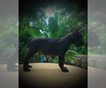 Small Photo #6 Great Dane Puppy For Sale in OCALA, FL, USA