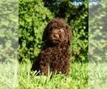 Puppy 7 Labradoodle-Poodle (Standard) Mix