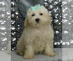 Puppy 2 Maltese-Poodle (Toy) Mix