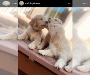 Golden Retriever Puppy for Sale in ROCKLIN, California USA