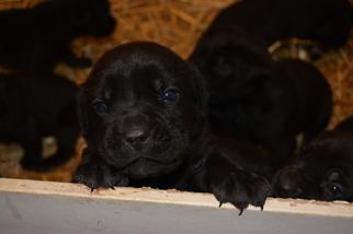 Cane Corso Puppy for sale in WILMINGTON, DE, USA