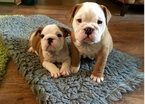 Bulldog Puppy For Sale in BALTIMORE, MD, USA