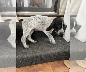 German Shorthaired Pointer Puppy for Sale in WESLEY CHAPEL, Florida USA