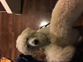 Goldendoodle Puppy For Sale in FREDERICKSBURG, VA