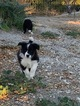 Border Collie Puppy For Sale in PASO ROBLES, CA, USA