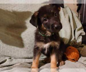 German Shepherd Dog Puppy for sale in PUYALLUP, WA, USA
