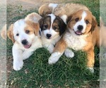 Small Great Bernese