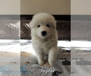 Samoyed Puppy for sale in STATEN ISLAND, NY, USA