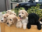 Goldendoodle Puppy For Sale in CLEARWATER, FL, USA