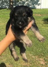 German Shepherd Dog Puppy For Sale in HOBBS, NM, USA