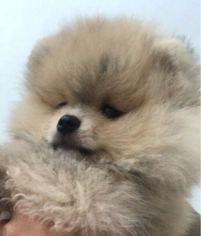 Pomeranian Puppy for sale in Santa Rita do Passa Quatro, Sao Paulo, Brazil