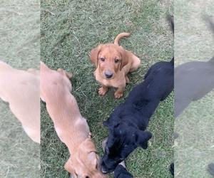 Labrador Retriever Puppy for sale in HARTFORD, KY, USA