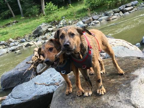 Beagle-German Shepherd Dog Mix dog