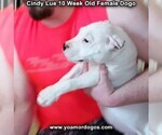 Small Photo #101 Dogo Argentino Puppy For Sale in PINEVILLE, MO, USA