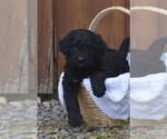 Puppy 6 Bernedoodle