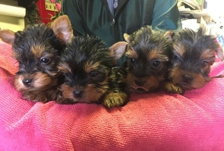 Yorkshire Terrier Puppy For Sale in CANONSBURG, PA
