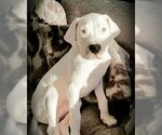 Dogo Argentino Puppy For Sale in NAPLES, FL, USA