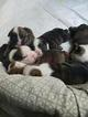 Bulldog Puppy For Sale in LAS VEGAS, NV