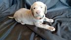 Labrador Retriever Puppy For Sale in DURANGO, CO