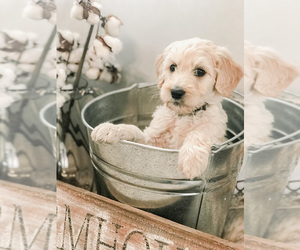 Goldendoodle Puppy for Sale in MARQUAND, Missouri USA