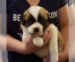 Puppy 1 Newfoundland-Saint Bernard Mix