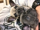 French Bulldog Puppy For Sale in SYLMAR, CA, USA