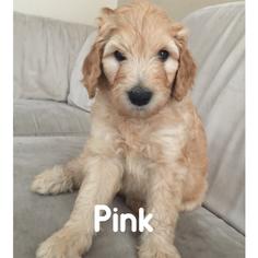 Goldendoodle Puppy For Sale in LOS ALAMITOS, CA, USA