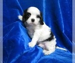 Small #9 Cavalier King Charles Spaniel