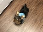 Biewer Terrier Puppy For Sale in SUGAR LAND, TX, USA