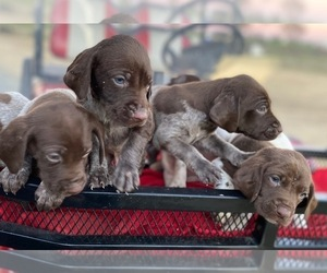 German Shorthaired Pointer Puppy for sale in DUNN, NC, USA