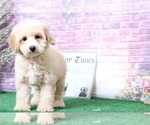 Baja Male Good Looking Poodle Puppy