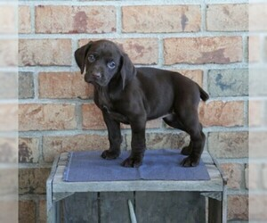 German Shorthaired Pointer Puppy for sale in FREDERICKSBG, OH, USA