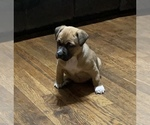 Puppy 2 Bullypit-German Shepherd Dog Mix