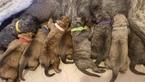Mastiff Puppy For Sale in CUTLER, IN, USA