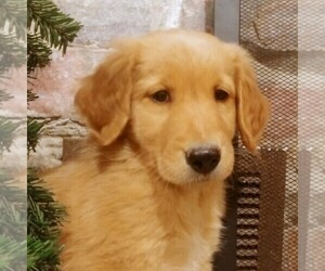 Golden Retriever-Goldendoodle Mix Puppy for sale in CANON CITY, CO, USA