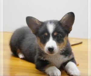Pembroke Welsh Corgi Puppy for Sale in CRESTVIEW, Florida USA