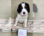 Puppy 6 English Springer Spaniel