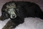 AKC Solid Black Poodle Puppy