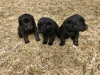 Labrador Retriever Puppy For Sale in CRAIG, CO