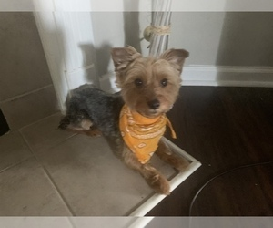 Yorkshire Terrier Puppy for sale in CENTERVILLE BRANCH, GA, USA
