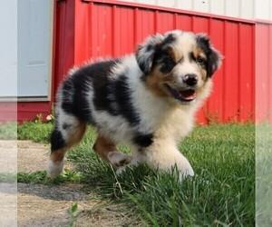 Australian Shepherd Puppy for Sale in LEBANON, Indiana USA